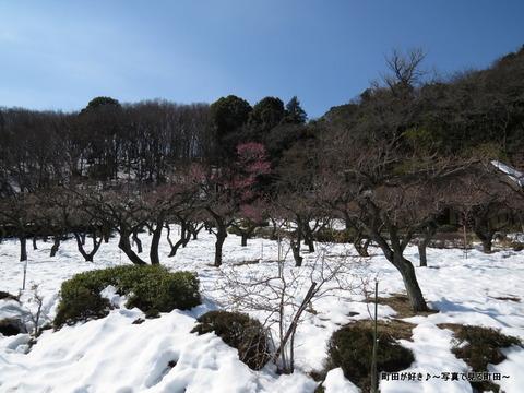 20140222063雪と梅の花@薬師池公園