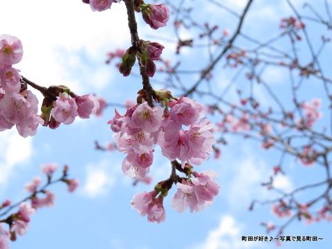 2014032135恩田川沿いの早咲きのサクラ