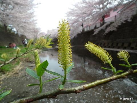 20110410166柳の花