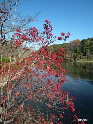 20101204047赤い花薬師池公園