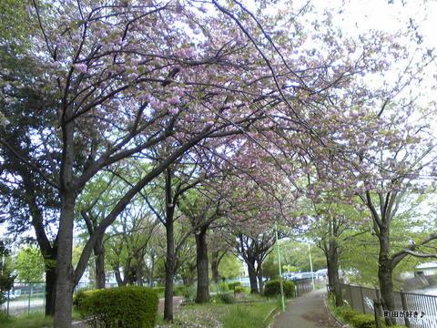 2010042905八重桜)里桜)牡丹桜
