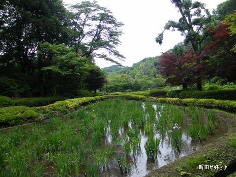 20100530045薬師池公園花菖蒲田