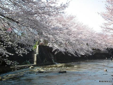 20120408106高瀬橋付近の桜、満開です