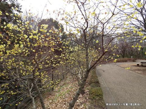2014010437忠生公園のロウバイ