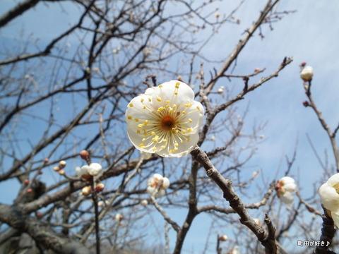 2011012934薬師池公園白梅