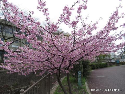 2014032161恩田川沿いの早咲きのサクラ
