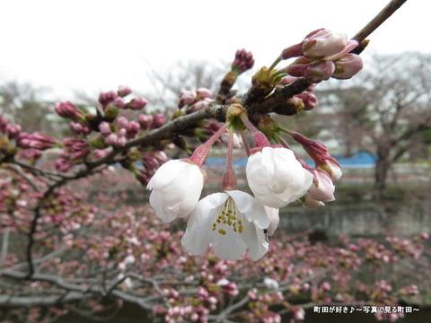 2015032834恩田川の桜並木