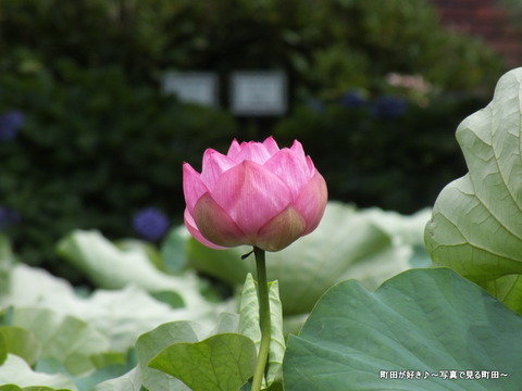 2013070611薬師池公園の大賀ハス