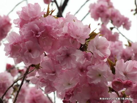 20130330072道端の八重桜@成瀬