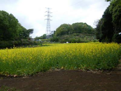 20090418024.jpg 七国山の菜の花畑