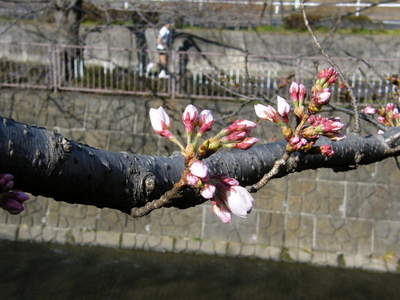 2009032031.jpg 恩田川の桜