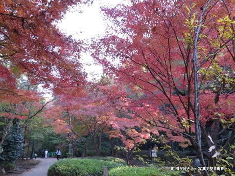 2013112433芹ヶ谷公園の不思議な紅葉