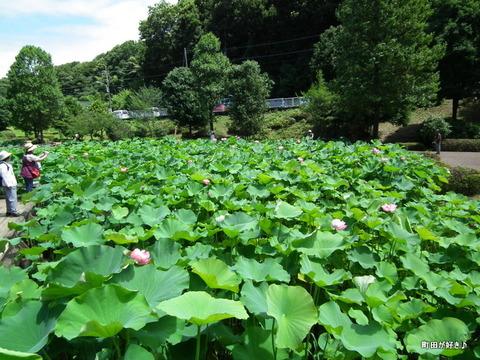 20110723032薬師池公園の大賀ハス