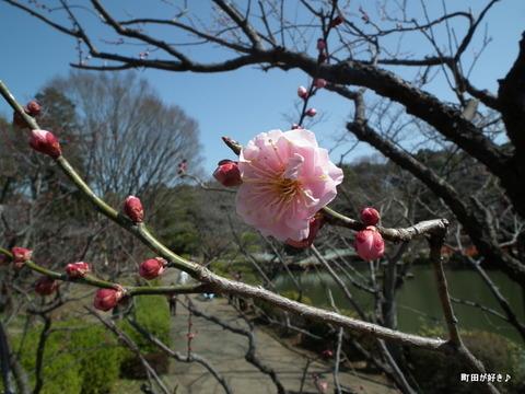 2012032060薬師池公園の梅の花