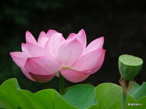 2012072219薬師池公園の大賀ハス