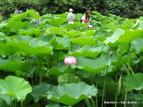 20140706030薬師池公園の大賀ハス(古代ハス)