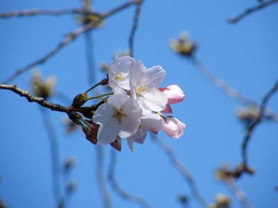 2009032033.jpg 恩田川の桜