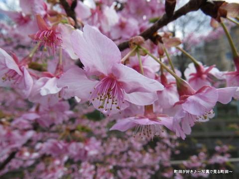 2014032160恩田川沿いの早咲きのサクラ