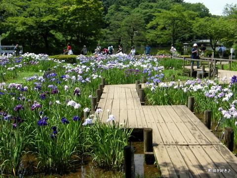 20100619243薬師池公園の花菖蒲