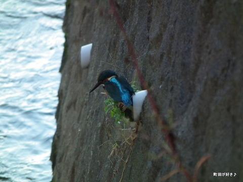 20101106006境川カワセミ