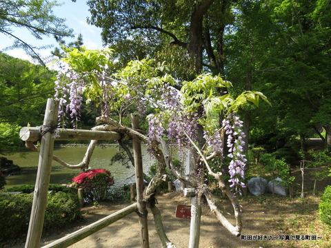 20140428138薬師池公園の藤の花
