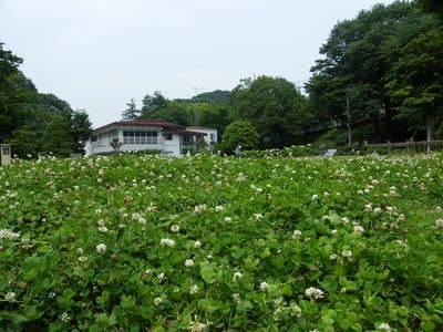 20090613110.jpg シロツメクサ(別名クローバー) 薬師池公園
