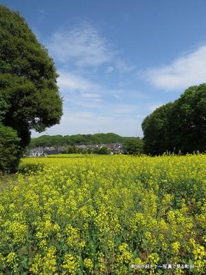 20140428069七国山の菜の花畑