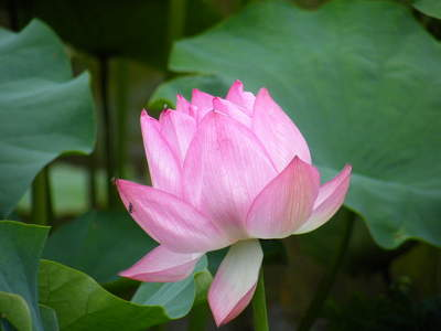 2009071119.jpg 薬師池公園の大賀ハスの花