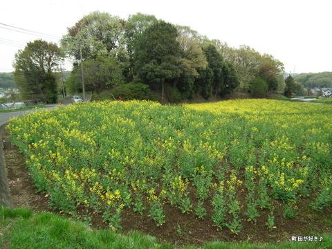20120422067七国山の菜の花畑の様子