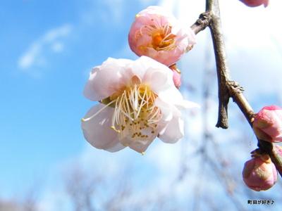 20100206075薬師池公園枝垂桜
