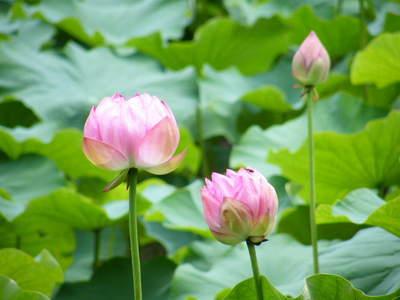 20090704039.jpg 薬師池公園の大賀ハスの花が咲き始めました