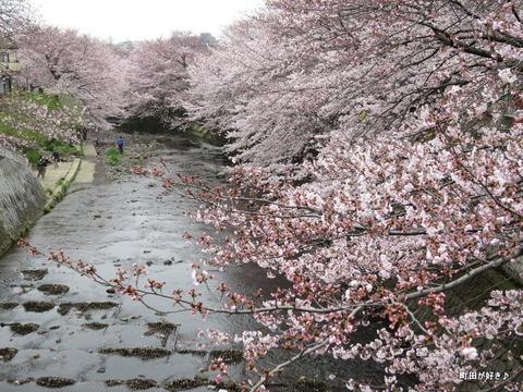 2016040248恩田川・高瀬橋付近の桜