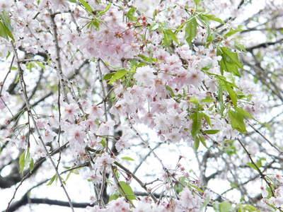 20090418142.jpg 薬師池公園 シダレザクラ(枝垂桜)