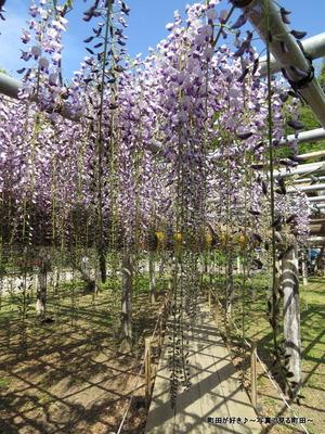 20140428160薬師池公園の藤の花