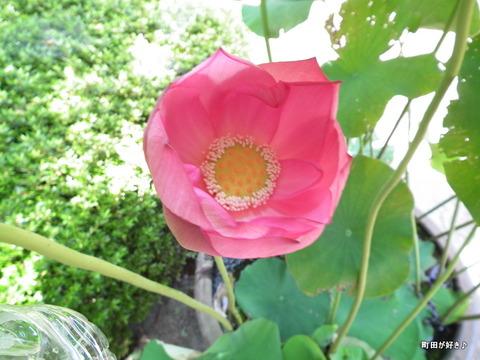2011071617やくし茶屋近くのハスの花