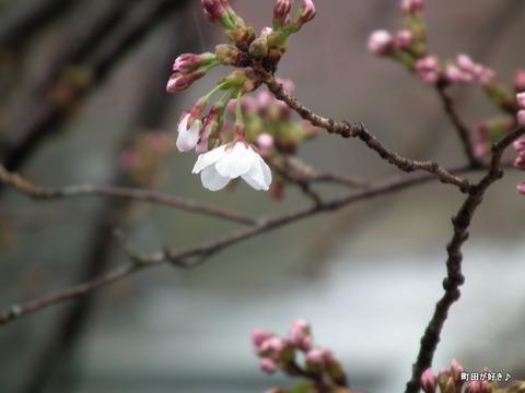2012033171恩田川の桜、勝手に開花宣言