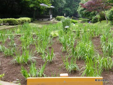 20100530035薬師池公園花菖蒲田