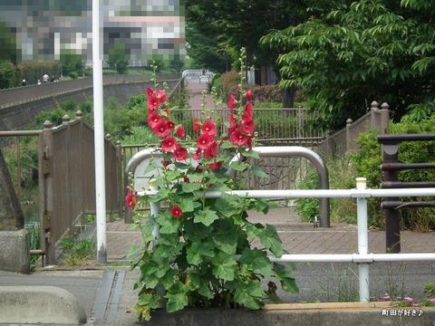 2011060512立葵(タチアオイ)