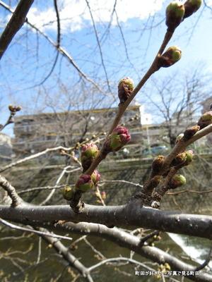 2014032111サクラのつぼみ@恩田川の桜並木 3/21