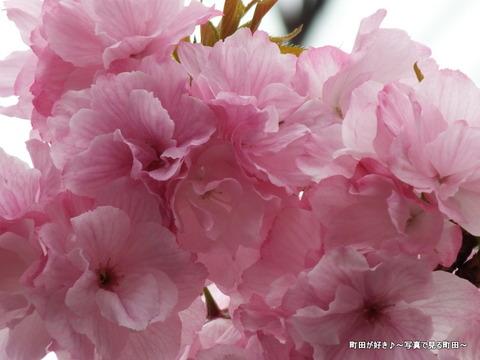 20130330073道端の八重桜@成瀬