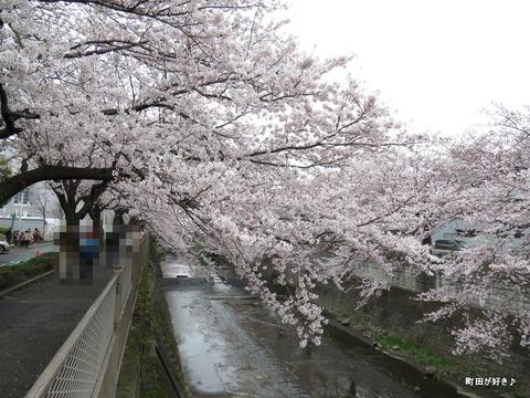 20160402146恩田川の桜
