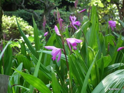 20110508106シラン(紫蘭)