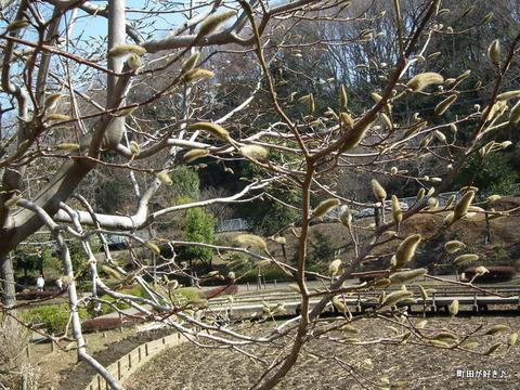20110226055薬師池公園ニオイコブシ
