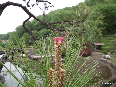 2011050363松の枝の先にノイチゴ?@薬師池公園