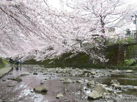 2016040253恩田川・高瀬橋付近の桜