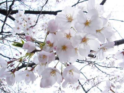 20090404025.jpg 恩田川の桜が見頃です