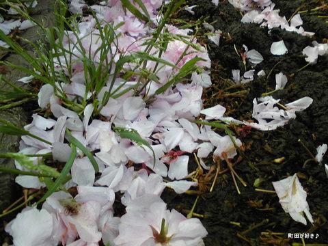 2010042907八重桜)里桜)牡丹桜