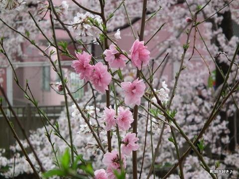 20110410142恩田川・高瀬橋の桜