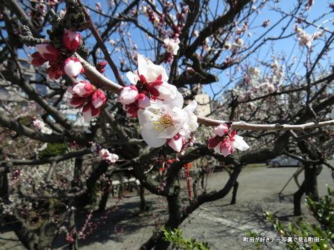 2014030817町田天満宮の梅の花