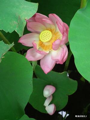 2012072224薬師池公園の大賀ハス
